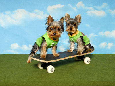 Yorkies On A Skateboard Photographic Print by  Blueiris