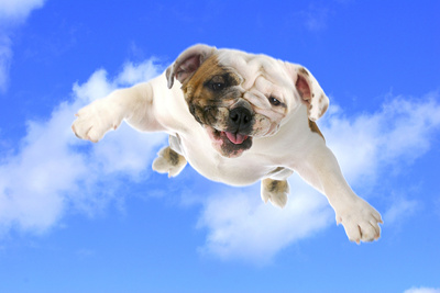 Dog Flying - English Bulldog Flying In The Cloudy Blue Sky Photographic Print by Willee Cole