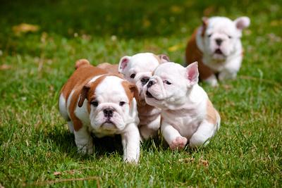 English Bulldog Puppies Playing Photographic Print by  ots-photo