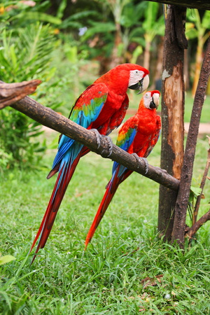 Parrots: Scarlet Macaw (Ara Macao) Photographic Print by  zanskar