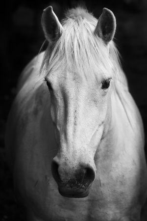 White Horse'S Black And White Art Portrait Photographic Print by  kasto
