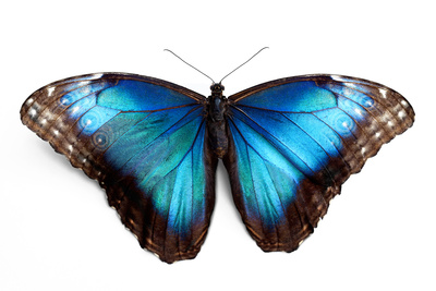 Butterfly Morpho Rhetenor Cacica Isolated Over White Background Photographic Print by Krivosheev Vitaly
