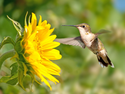 Ruby-Throated Hummingbird Hovering Next To A Bright Yellow Sunflower Photographic Print by Sari ONeal
