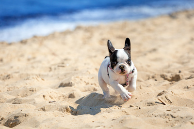 French Bulldog Puppy Running On The Beach Photographic Print by Patryk Kosmider