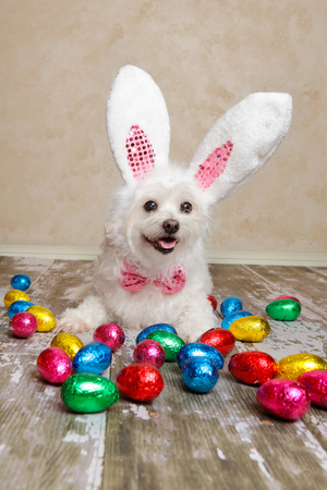 Easter Bunny Dog With Chocolate Easter Eggs Photographic Print by  lovleah