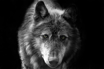 Wolf Photographic Print by Brian Dunne