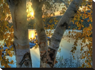 Sunset and A Birch Muskoka Stretched Canvas Print by AJ Messier