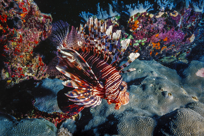Lionfish at Daedalus Reef (Abu El-Kizan), Red Sea, Egypt Photographic Print by Ali Kabas