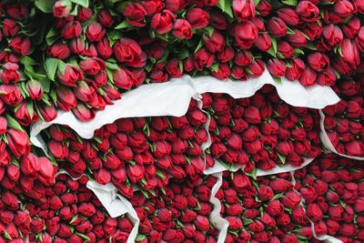 Tulips for Sale at a Street Vendor, Copenhagen, Sjaelland, Denmark Photographic Print by Fredrik Norrsell
