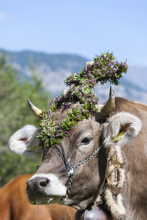 Cow Decorated with Flowers and Ceremonial Bells, South Tyrol, Italy Photographic Print by Martin Zwick
