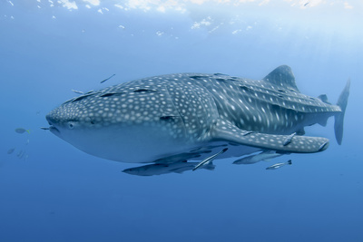Close-Up of Whale Shark and Remora, Cenderawasih Bay, Papua, Indonesia Photographic Print by  Jaynes Gallery