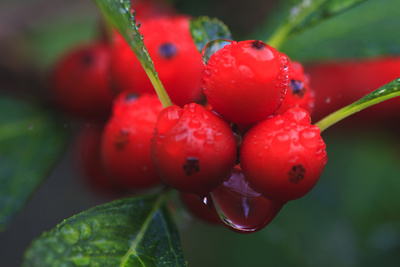 Red Berries with Rain Drops, Maine, USA Photographic Print by Joanne Wells