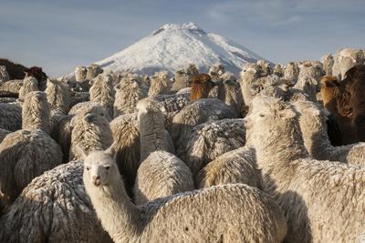 Cotopaxi Volcano and Alpacas, Cotopaxi National Park, Andes, Ecuador Fotografie-Druck von Pete Oxford