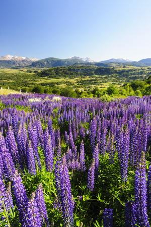 Lupine Field, Coyhaique, Aysen, Chile Photographic Print by Fredrik Norrsell