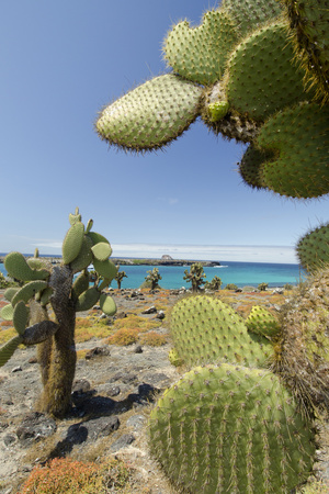 Giant Prickly Pear Cactus, South Plaza Island, Galapagos, Ecuador Photographic Print by Cindy Miller Hopkins