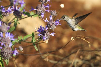Anna's Hummingbird, Santa Cruz, California, USA Photographic Print by Tom Norring