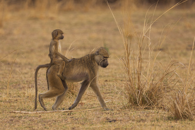 Chacma Baboons, South Luangwa National Park, Zambia Photographic Print by Art Wolfe