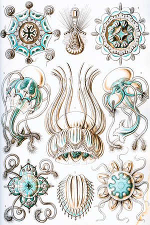 Narcomedusae Nature by Ernst Haeckel Prints