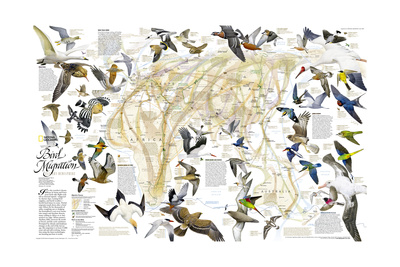2004 Bird Migration Eastern Hemisphere Map Prints by  National Geographic Maps