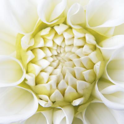 White Dahlia Photographic Print by Karen Ussery