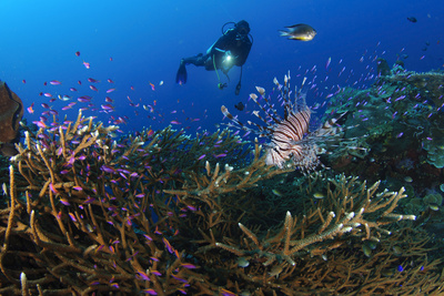 A Diver Looks on at a Lionfish Hovering Above Staghorn Coral, Indonesia Photographic Print