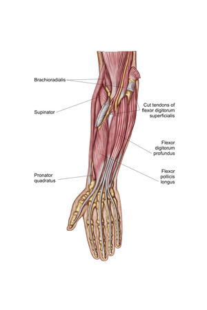 Anatomy of Human Forearm Muscles, Deep Anterior View Posters