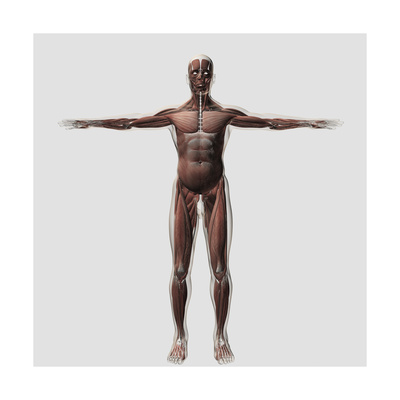 Anatomy of Male Muscular System, Front View Prints