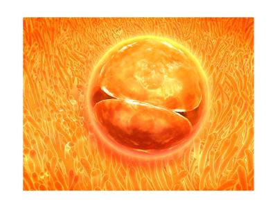 Embryo Development 24-36 Hours after Fertilization Poster