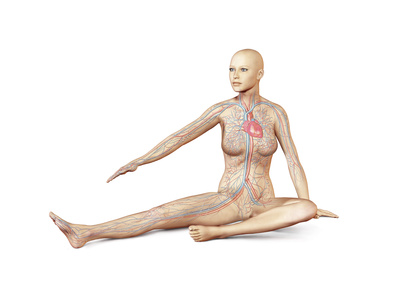 Female Body Sitting in Dynamic Posture with Circulatory System Superimposed Posters