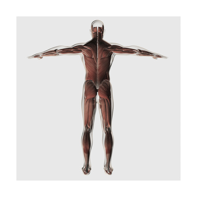 Anatomy of Male Muscular System, Posterior View Posters!