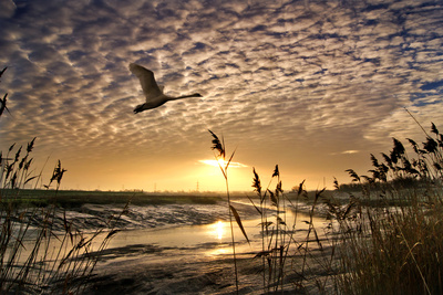 Flight of the Swan Photographic Print by Adrian Campfield