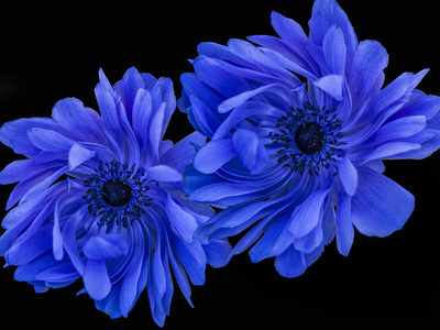 Blue Anemone Photographic Print by Margaret Morgan