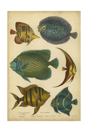 Non-Embellished Goldsmith's Spinous Fishes Posters by  Goldsmith