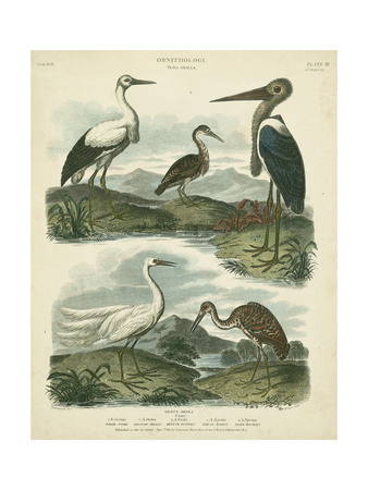 Heron and Crane Species I Posters by Sydenham Teast Edwards