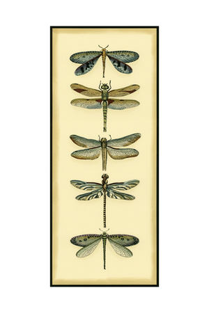 Small Dragonfly Collector I Prints by Chariklia Zarris