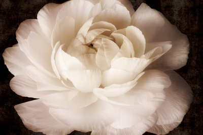 Elegant Ranunculus II Art by Christine Zalewski