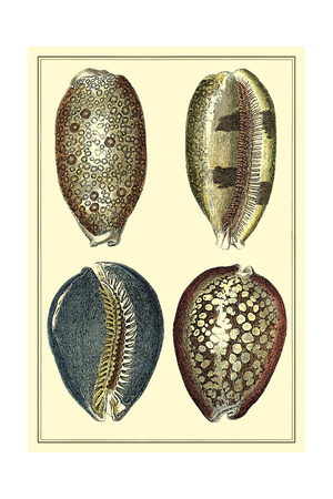 Classic Shells IV Art by Denis Diderot