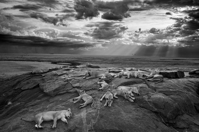 Lionesses and cubs from the Vumbi lion pride rest on a kopje, a rocky outcrop. Fotografisk tryk af Michael Nichols