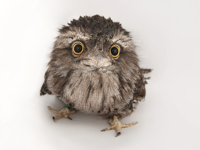 A Tawny Frogmouth Owl, Podargus Strigoides, at the Fort Worth Zoo Fotografisk tryk