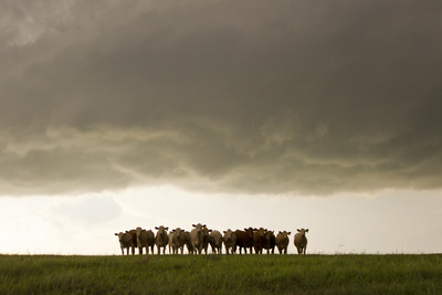 A Herd of Cattle Standing Side-By-Side, in a Perfect Row, in a Field under a Thunderstorm Fotografisk tryk af Mike Theiss