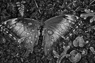 A Dead Blue Morpho Butterfly, Morpho Peleides, Covered in Dew Photographic Print by Kike Calvo