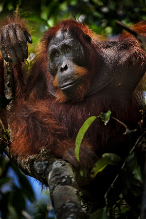 An Orangutan in a Peat Swamp Forest at the Borneo Orangutan Survival Center Photographic Print by Mattias Klum