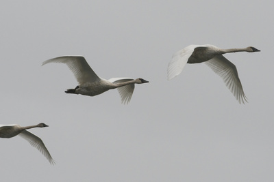Trumpeter Swans Fly over the Inside Passage Photographic Print by Michael Melford