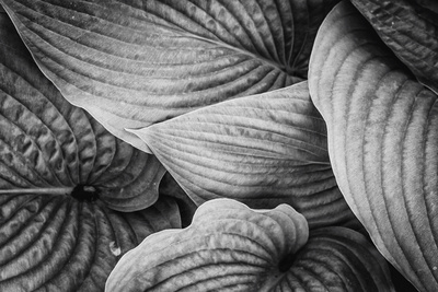 Close-Up of Big Hosta Leaves Covering Each Other Photographic Print by Henriette Lund Mackey