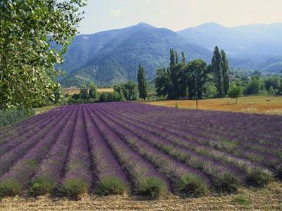 Lavender Field, Plateau De Sault, Provence, France Photographic Print by Guy Thouvenin