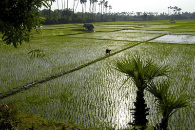 Paddy Fields, Tamil Nadu, India, Asia Photographic Print by Balan Madhavan