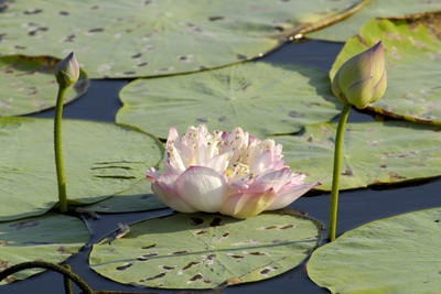 Pond Filled with Lotus, Tamil Nadu, India, Asia Photographic Print by Balan Madhavan