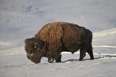 Bison (Bison Bison) Bull in the Snow Photographic Print by James Hager