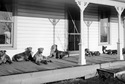 Relaxed Dogs Lounge on a Farmhouse Porch, Ca. 1905 Photographic Print