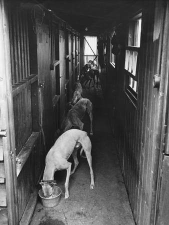 Greyhounds Being Fed in a Kennel Photographic Print